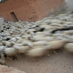 Trashumancia: el río de ovejas