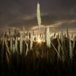 El lider del campo de trigo