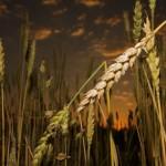 El ocaso del lider del trigo