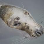 El sueño de la foca
